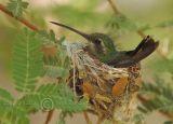 Broad-billed Hummingbird in Nest