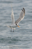 Tern, Lesser Crested @ Straits of Singapore