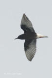 Tern, White-winged Black @ Straits of Singapore