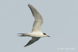 Tern, Common @ Straits of Singapore