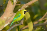 Leafbird, Blue-winged (male) @ Jelutong Tower