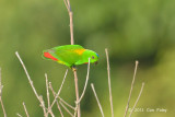 Parrott, Blue-crowned Hanging (male) @ Jelutong Tower