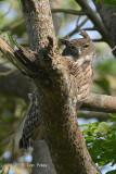 Owl, Brown Fish @ Kaziranga