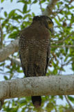 Eagle, Crested Serpent @ Sukau B&B