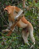 Proboscis (dominant male, harem group)