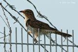 Cuckoo, Plaintive (female) @ Neo Tiew Lane 2