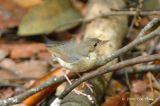 Robin, Siberian Blue (male, first winter) @ Nee Soon