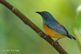 Flowerpecker, Orange-bellied (male) @ Upper Pierce