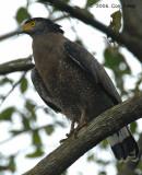 Eagle, Crested Serpent @ Springleaf