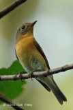 Flycatcher, Mugimaki (female) @ Upper Pierce