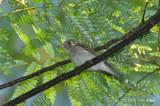 Flycatcher, Asian Brown @ Upper Pierce