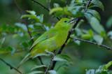 Leafbird, Blue-winged (female)