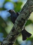 Cuckoo, Asian Drongo @ Upper Pierce