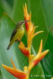 Sunbird, Olive-backed (female) @ Botanic Gardens
