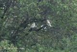 Pigeon, Pied Imperial @ Pulau Salu