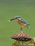 Kingfisher, Common (male) @ Botanic Gardens