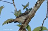 Shrike, Tiger (juvenile)