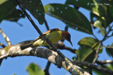 Sunbird, Red-throated (male)