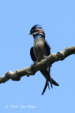 Treeswift, Whiskered (male)