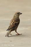 Sparrow, House (female) @ West Coast