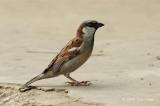 Sparrow, House (male) @ West Coast