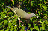 Pigeon, Pink-necked Green (male) @ Seletar