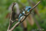 Kingfisher, Small Blue @ Nusa Dua