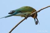 Beeater, Blue-tailed @ Punggol