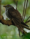 Cuckoo, Indian (male) @ Pulau Ubin