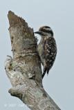 Woodpecker, Sunda Pygmy @ Punggol