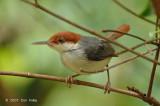 Tailorbird, Rufous-tailed @ Panti