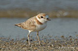 Plover, Malaysian (female) @ Changi