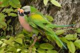 Parakeet, Red-breasted (mating) @ Changi Village