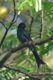 Drongo, Crow-billed