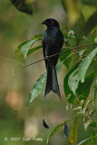Drongo, Greater Racket-tailed