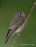 Flycatcher, Dark-sided
