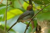 Tailorbird, Ashy (male) @ Pulau Ubin