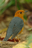 Thrush, Orange-headed @ Hindhede