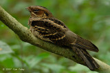 Nightjar, Large-tailed @ Hindhede