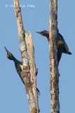 Woodpecker, White-bellied (female)