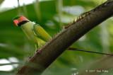 Parakeet, Long-tailed (male) @ Botanic Gardens