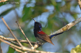 Sunbird, Black-throated (male) @ Jelai Resort