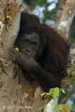 Bornean Orangutan (adult female) @ Kinabatangan River