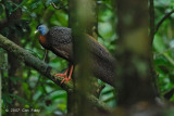 Argus, Great (male) @ Danum Valley