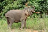 Elephant, Borneo Pygmy (male) @ Danum