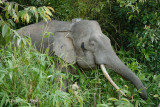Elephant, Borneo Pygmy (male) @ Kinabatangan
