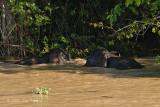 Elephant, Borneo Pygmy @ Kinabatangan