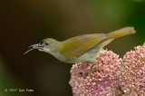 Sunbird, Plain (male) @ Danum Valley