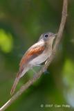 Philentoma, Rufous-winged (female) @ Danum Valley