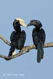 Hornbill, Black @ Kinabatangan River
